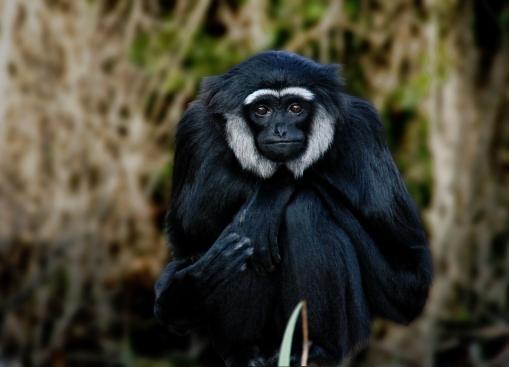 Hoolock Gibbon aka Dukhi Bandar