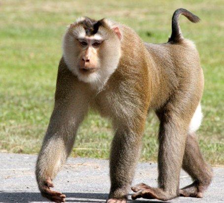 Pig tailed monkey