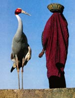Sarus Crane and a human