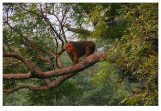 Stump tailed macaque